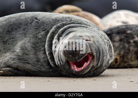 Grey seal / gray seals (Halichoerus grypus) colony, close up of yawning male resting on beach along the North Sea - Stock Photo