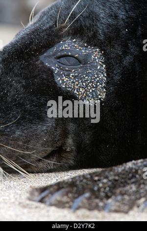 Grey seal / gray seal (Halichoerus grypus) close up of eye - Stock Photo