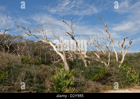 Sand live oak or Quercus geminata and saw palmetto or Serenoa repens growing in the coastal Atlantic sand dunes - Stock Photo
