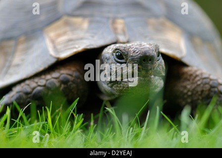 Close up front view of single pet tortoise in garden on grass with diffused background - Stock Photo