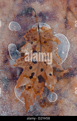 Oak leaves (Quercus species ) and trapped air bubbles frozen in ice E USA - Stock Photo