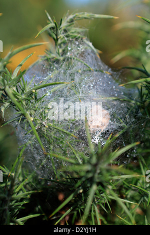 Spider web on gorse bush covered in water droplets - Stock Photo