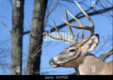 Deer with full antlers in the woods, head shot of an eight point buck with a classic symmetrical rack - Stock Photo