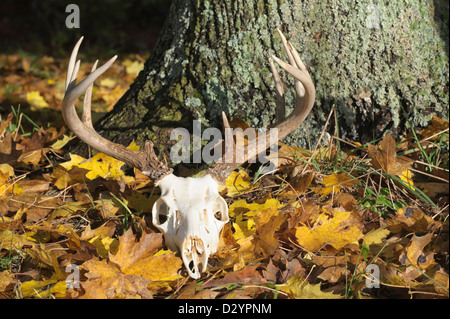Deer Skull With Antlers Laying Abandoned In Yellow Fall
