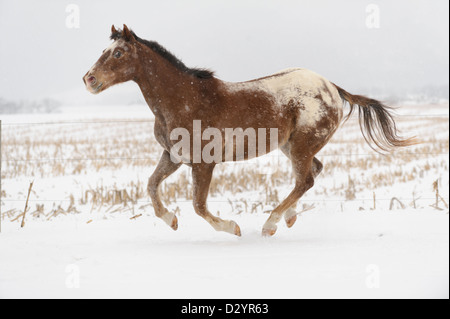 Appaloosa horse running free in canter in white winter pasture and falling snow, open farm field landscape. - Stock Photo