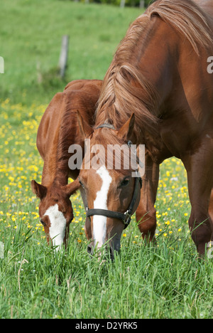 Horses grazing in spring buttercup field, a mare and her young foal, purebred Quarter horses. - Stock Photo