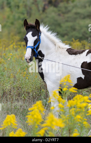 Horse in yellow goldenrod flowers, a Tennessee Walker black and white paint foal colt with wildflowers, close up. - Stock Photo