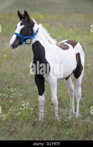 An alert young Tennessee Walker foal standing in field, close up. - Stock Photo