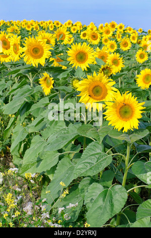Sunflowers in a summer morning field, ready for harvest. - Stock Photo