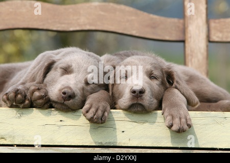 dog Weimaraner longhair / two puppies sleeping on a bench - Stock Photo