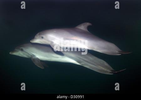 Two common bottlenose dolphins (Tursiops truncatus) Delphinarium, Odessa, Ukraine - Stock Photo