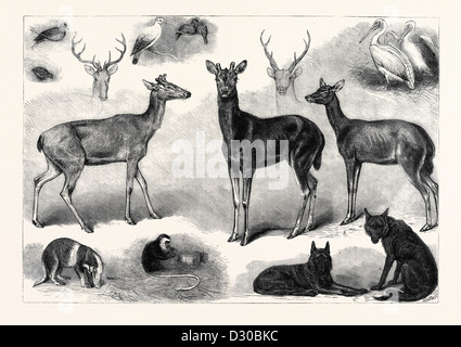 NEW ANIMALS AND BIRDS IN THE ZOOLOGICAL SOCIETY'S GARDENS REGENT'S PARK LONDON UK 1867 - Stock Photo