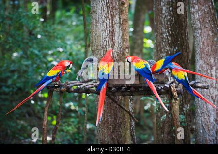 Scarlet Macaw (Ara macao), parrot at Mayan archeological site, Copan Ruins, Unesco World Heritage site, Honduras - Stock Photo