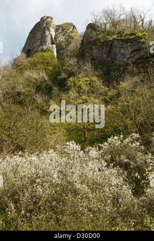 Woods below Thor's Cave with blackthorn in flower, Manifold Valley, Peak District National Park, Staffordshire, - Stock Photo