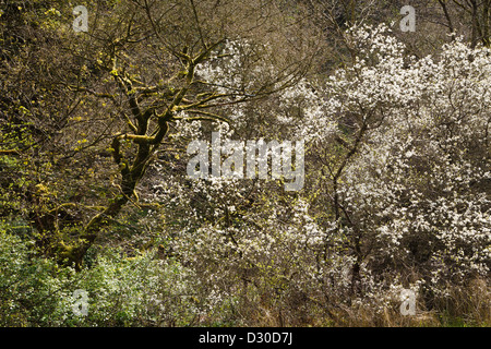 Blackthorn in flower, Manifold Valley, Peak District National Park, Staffordshire, England - Stock Photo