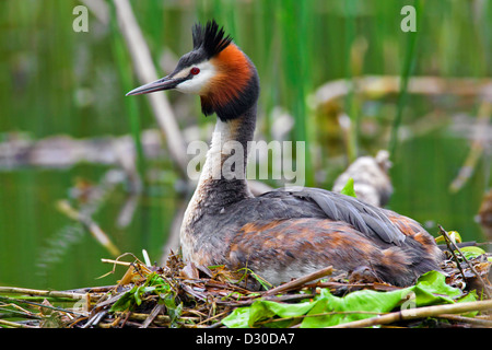 Great Crested Grebe (Podiceps cristatus) breeding on nest in lake - Stock Photo