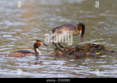 Great Crested Grebe (Podiceps cristatus) pair entering nest made of rotten vegetation in lake - Stock Photo