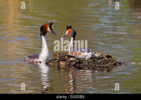 Great Crested Grebe (Podiceps cristatus) male visiting female breeding on nest in lake - Stock Photo
