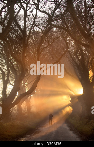 Morning light illuminate the avenue tree's  known as the Dark Hedges in Northern Ireland. - Stock Photo