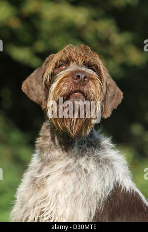 Dog Wirehaired Pointing Griffon / Korthals Griffon adult portrait - Stock Photo