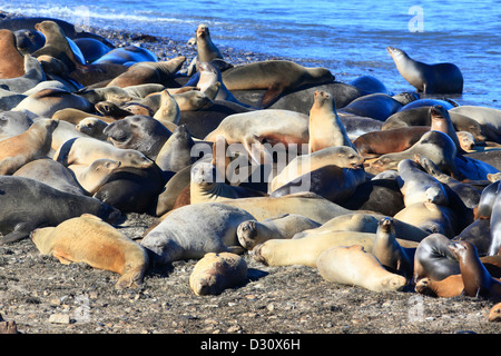 A colony of elephant seals and sea lions in California. - Stock Photo