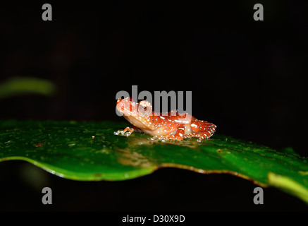 A Cinnamon tree frog (Nyctixalus pictus) on a green leaf. Sarawak, Borneo, Malaysia. - Stock Photo