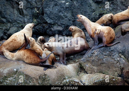Tagged Steller Sea Lions (Eumetopias jubatus) on the coast of Alaska. - Stock Photo