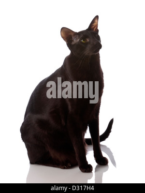 Male brown Oriental Shorthair cat on white background - Stock Photo