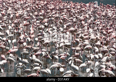 Lesser Flamingos (Phoenicopterus minor) in Lake Bogoria National Reserve, Rift Valley, Kenya - Stock Photo