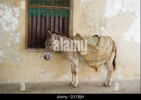 Donkeys are the main transport on Lamu island, Lamu Archipelago, Kenya - Stock Photo