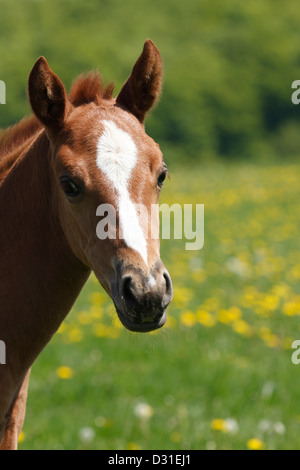 Portrait of a Quarter horse female on meadow, Lower Saxony, Germany - Stock Photo