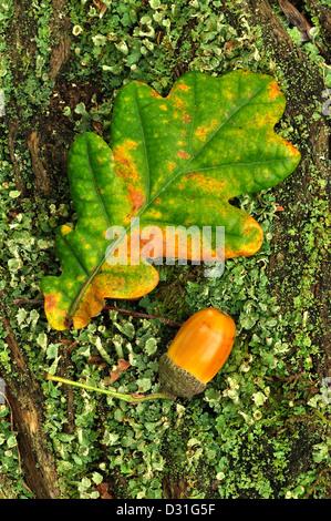 Ripe oak acorn with a single oak leaf. Dorset, UK October 2010 - Stock Photo