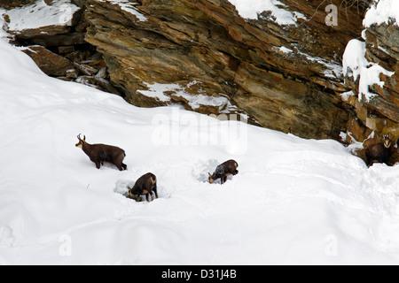 Chamois (Rupicapra rupicapra) herd foraging in snow slope in winter, Gran Paradiso National Park, Italian Alps, - Stock Photo