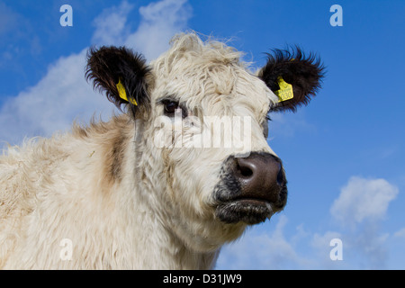 White Galloway cow in field, cattle breed from Scotland - Stock Photo