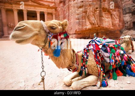Bedouin camel rests near the treasury Al Khazneh carved into the rock at Petra, Jordan - Stock Photo