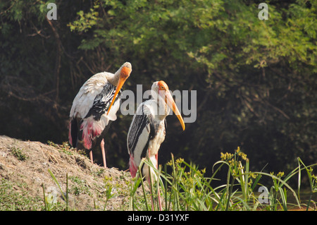 The Painted Stork , Mycteria leucocephala is a large wading bird in the stork family. - Stock Photo