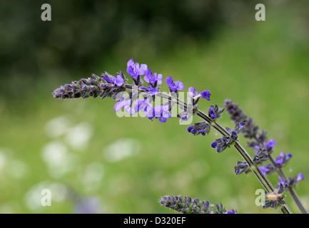 Wild Clary or Wild Sage, Salvia verbenaca, Lamiaceae. UK, Europe. - Stock Photo