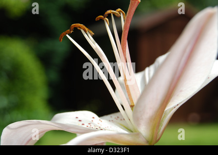 A white lily with water droplets on its petals and seeds looking at the light in the summer with bright attractive - Stock Photo