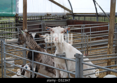 A cheeky curious goat looking through the hole in the pen at the camera in a pen full of animals at a market petting - Stock Photo