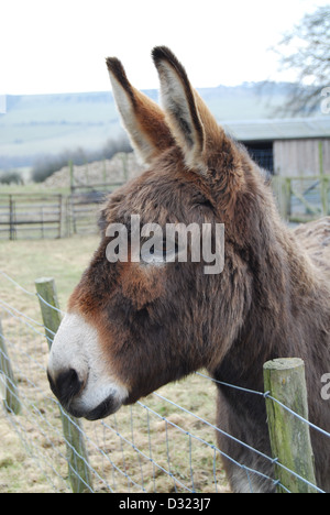 A donkey at a petting zoo or farm looking over the fence at the camera alert and attention seeking in an open outdoor - Stock Photo