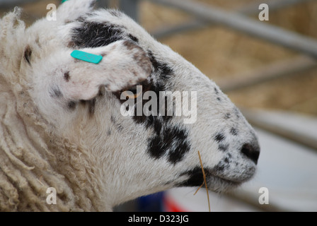 An up close portrait of a spotted black and white sheep with tagged ear in a pen full of animals at a market petting - Stock Photo