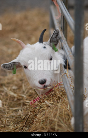A cheeky curious goat looking at the camera in a pen full of animals at a market petting zoo or farm with tagged - Stock Photo