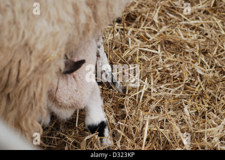 A new born lamb suckling and feeding from its mother in a pen full of hay during easter and breeding season on a - Stock Photo