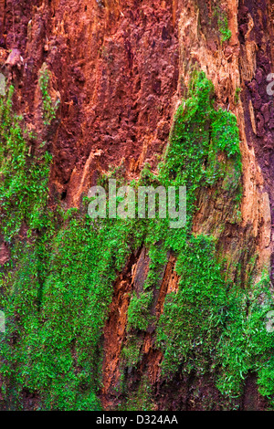 Abstract image of a rotting tree stump in a temperate rain forest - Stock Photo