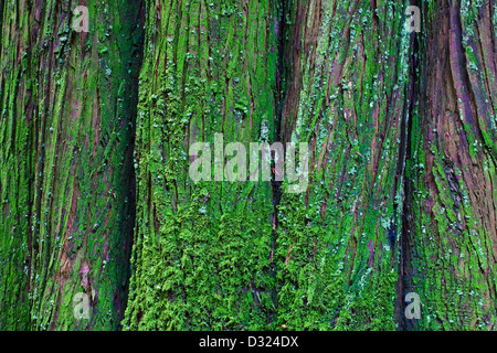 Abstract image of a fluted trunk of a Western Red Cedar tree, Vancouver, Canada. - Stock Photo