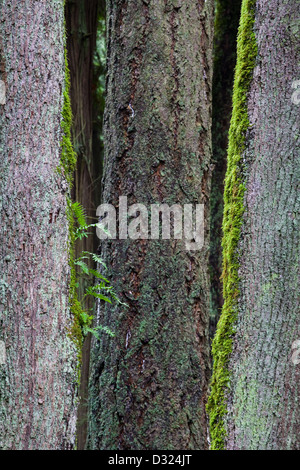 Abstract image of Maple tree trunks - Stock Photo