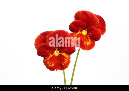 Two pansy flowers isolated on white background - Stock Photo