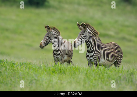Grevy's zebra (Equus grevyi), Lewa Wildlife Conservancy, Laikipia Plateau, Kenya - Stock Photo