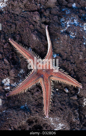 A dead sea star washed up on the rocks on the coast of Madeira. - Stock Photo