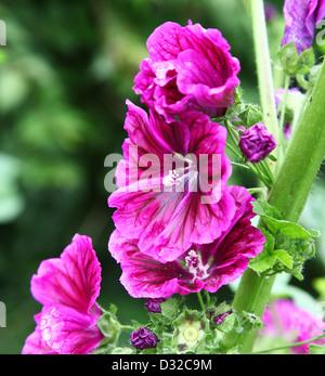 Pink purple flowers of a Hollyhock Alcea rosea plant - Stock Photo